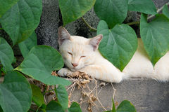 White cat lying in the green heart shape leaf on the wall.  Royalty Free Stock Image