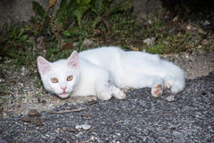 White cat lying on the ground Royalty Free Stock Images