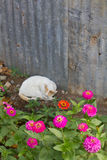 White cat lying Royalty Free Stock Images