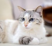 White cat lying on the sofa. Beautiful white cat with blue eyes lies on a sofa and looking away Royalty Free Stock Image