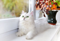 White cat lying and staring up. Stock Photography
