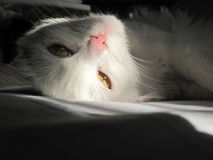 White cat lying in the sun light Royalty Free Stock Images