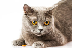 White cat lying on a white background Royalty Free Stock Photo