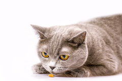White cat lying on a white background Stock Photography
