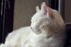 White cat lying at the window. Cat lying at the window Royalty Free Stock Images