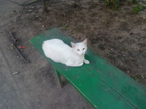 White cat lying in the yard. White yard cat lying on a green wooden bench on a background of asphalt and land Royalty Free Stock Photography