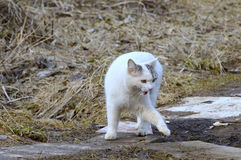 White cat make a step aside Royalty Free Stock Photography
