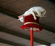 White cat makes stunt on top hat under wood ceilin. White cat makes stunt on red top hat under wood ceiling Stock Photography
