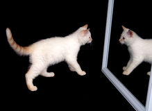White cat in a mirror Stock Image