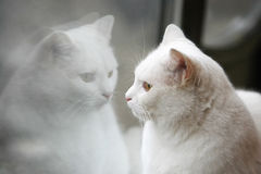 White cat mirror reflection. A close up of a white cat with her reflection in the window Stock Images
