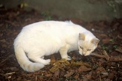 White cat with mouse Stock Image