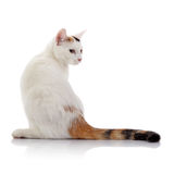 White cat with a multi-colored striped tail Royalty Free Stock Images