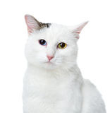 White cat with multicolored eyes looking at camera. Royalty Free Stock Photo