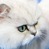White cat muzzle closeup Royalty Free Stock Image