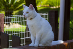 White cat. Nice cat in your house Stock Image