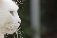 White cat nose close up from side. White cat nose close up captured from side Royalty Free Stock Photography