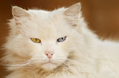 White cat with one blue eye and one green eye Stock Photography