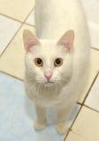 White cat. With orange eyes royalty free stock photo