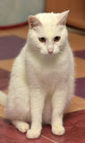 White cat. With orange eyes royalty free stock photography