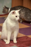 White cat. With orange eyes royalty free stock photos