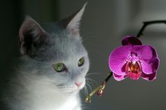 White cat and orchid. Cat's looking at orchid Stock Image