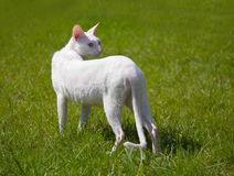 The white cat outdoor Stock Image