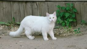 White cat outdoors stock video