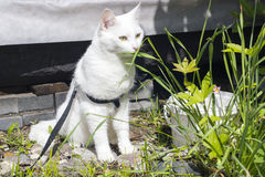 White cat outside in summer. White cat walking outside in summer Royalty Free Stock Image