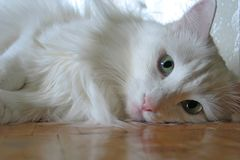White cat on a parquet. White cat lays on a parquet royalty free stock image