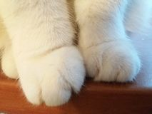 White Cat Paws on the Window Detail Royalty Free Stock Images