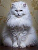 White cat. White pedigreed cat breed Turkish Angora Stock Photo