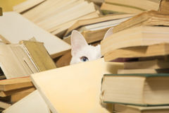 White cat peeking behind a pile of books. Selective focus. White cat hidden behind a pile of books is peeking with its beautiful blue eye. Cat has a difference Royalty Free Stock Image