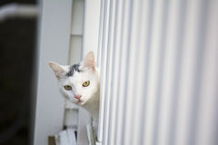 White cat peeking head out of the white deck. Yellow eyes white cat peeking head out of the white deck, young playful cat on the deck, cat playing outside at Stock Photography