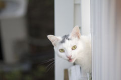White cat peeking head out of the white deck. Yellow eyes white cat peeking head out of the white deck, young playful cat on the deck, cat playing outside at Stock Photo