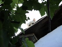 White cat peeking from the roof. Against a background of green leaves Stock Photos