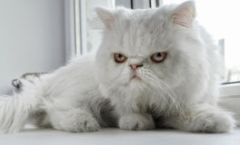 The white cat of the Persian breed sits at a window. Stock Photos