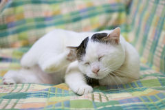 White cat. Picture of cute white cat sleep on sofa Royalty Free Stock Image