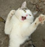 White cat play and hunt outdoor summer photo Royalty Free Stock Images