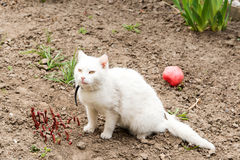 White cat playing with a ball in the garden, flea collars Royalty Free Stock Image