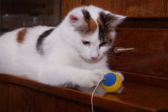 White cat playing with a ball on a rope Royalty Free Stock Images
