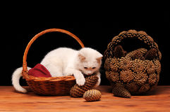 White cat playing with cones Stock Images