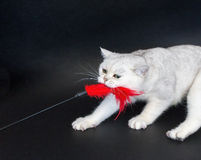 White cat playing pulling red toy Royalty Free Stock Image