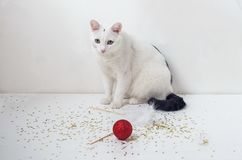 White cat playing with red ball. Large white cat playing with a red ball on a white background Stock Photo