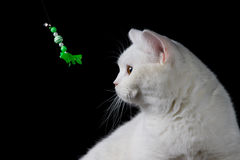 White cat playing with toy Stock Photo
