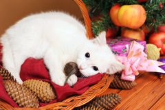 White cat plays with a mouse Stock Photos