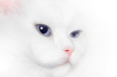 White Cat Portrait. Portrait of a White Cat with blue eyes.Isolated on a white background.Soft focus royalty free stock photos