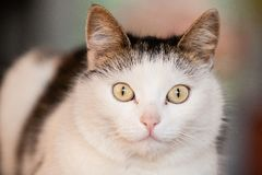 White cat portrait Royalty Free Stock Image