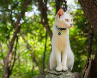 White cat. Portrait of white cat with blue collar and bell looking intently to its left, while sitting regally on a rock (or tree stump), background of trees and Stock Photography