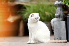White cat portrait. British Shorthair white cat meowing in the yard royalty free stock images