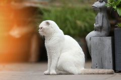 White cat portrait. British Shorthair white cat meowing in the yard royalty free stock photo